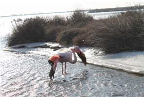 flamant rose They de la gracieuse hiver 2012-GPMM
